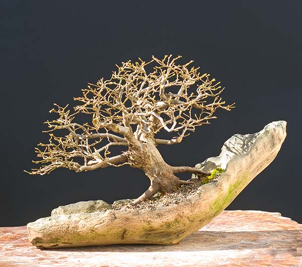 Bonsai Photo of the Day 9-20-2019