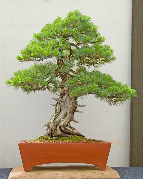 Bonsai Photo of the Day 9-23-2019