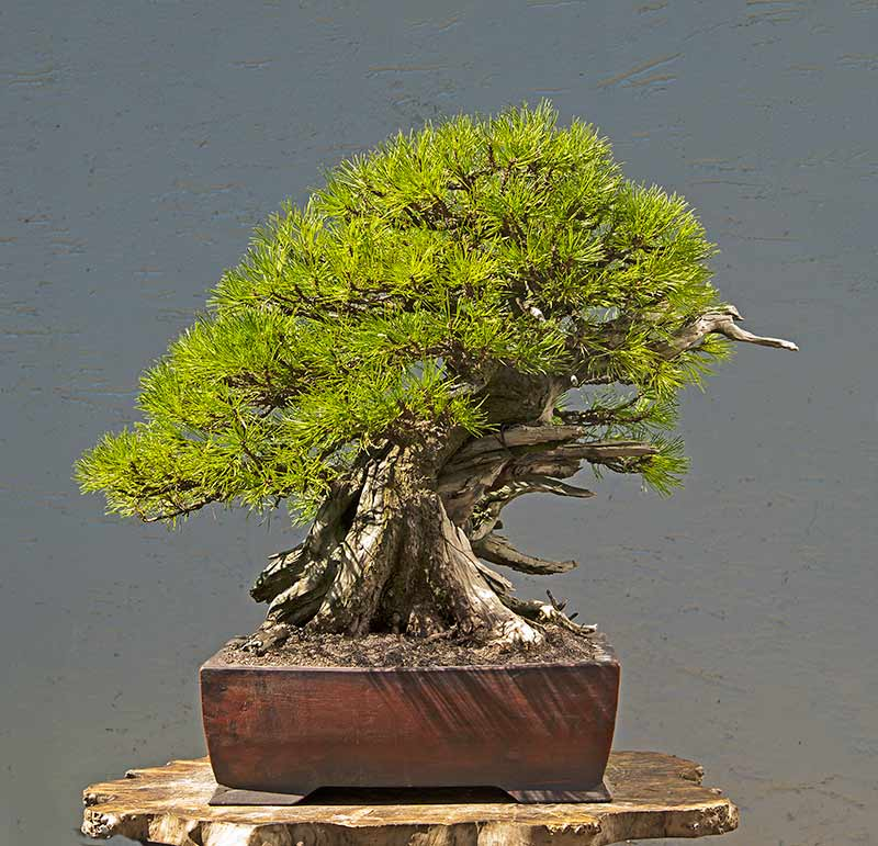 Bonsai Photo of the Day 9-25-2019