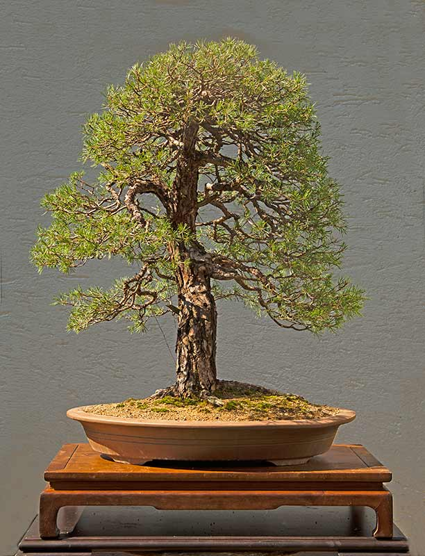 Bonsai Photo of the Day 9-26-2019