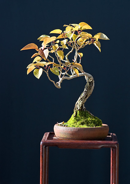 Bonsai Photo of the Day 9-27-2019
