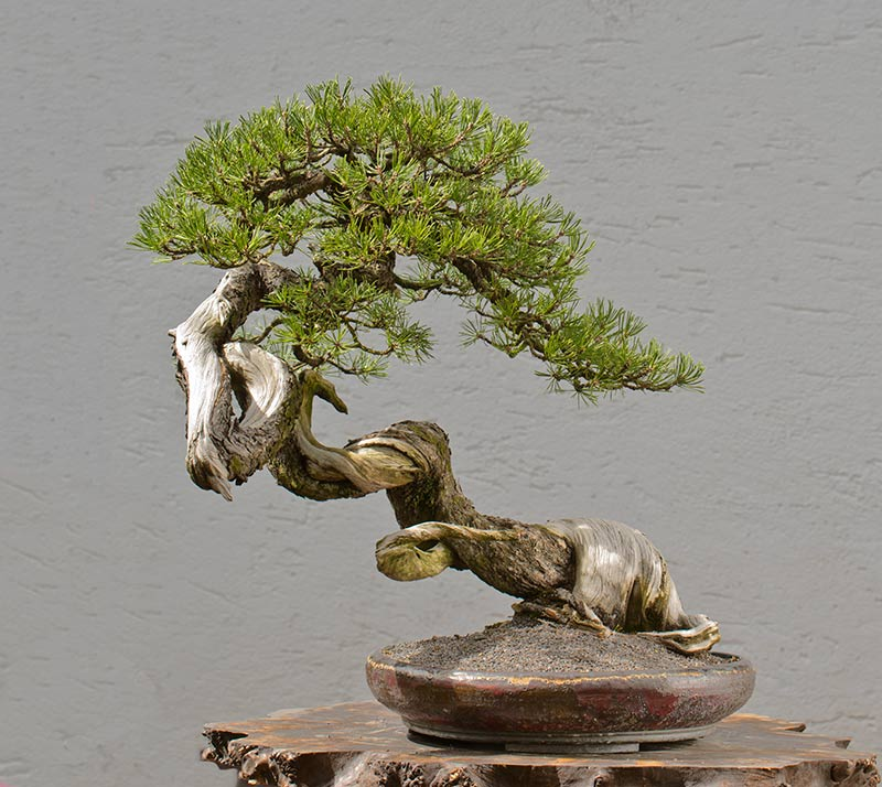 Bonsai Photo of the Day 9-3-2019