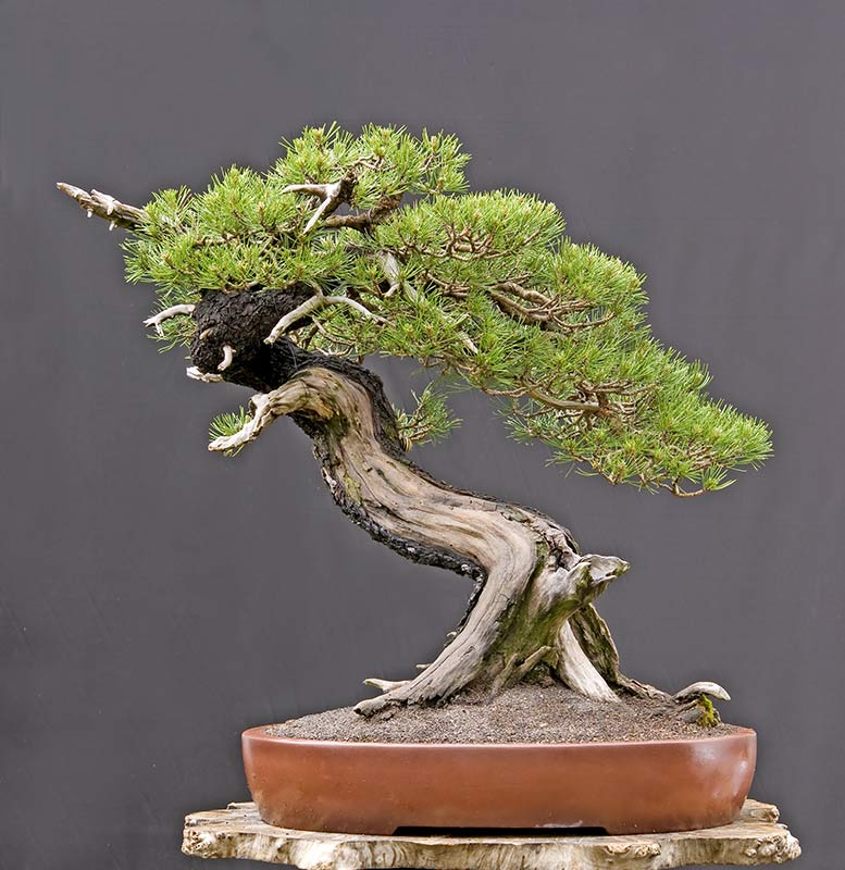 Bonsai Photo of the Day 9-4-2019