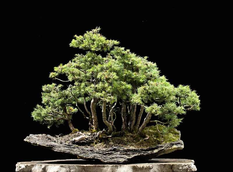 Bonsai Photo of the Day 9-5-2019