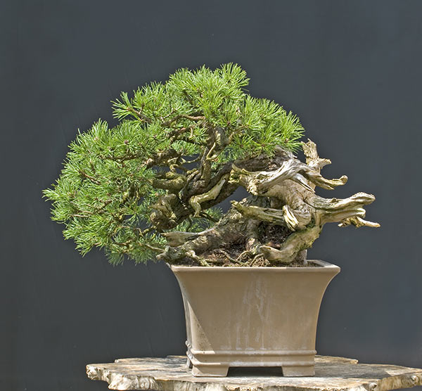 Bonsai Photo of the Day 10-1-2019