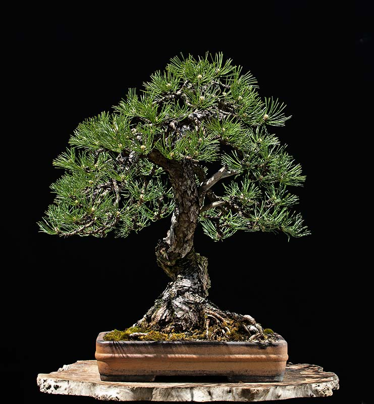 Bonsai Photo of the Day 10-14-2019