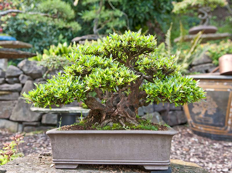 Bonsai Photo of the Day 10-15-2019