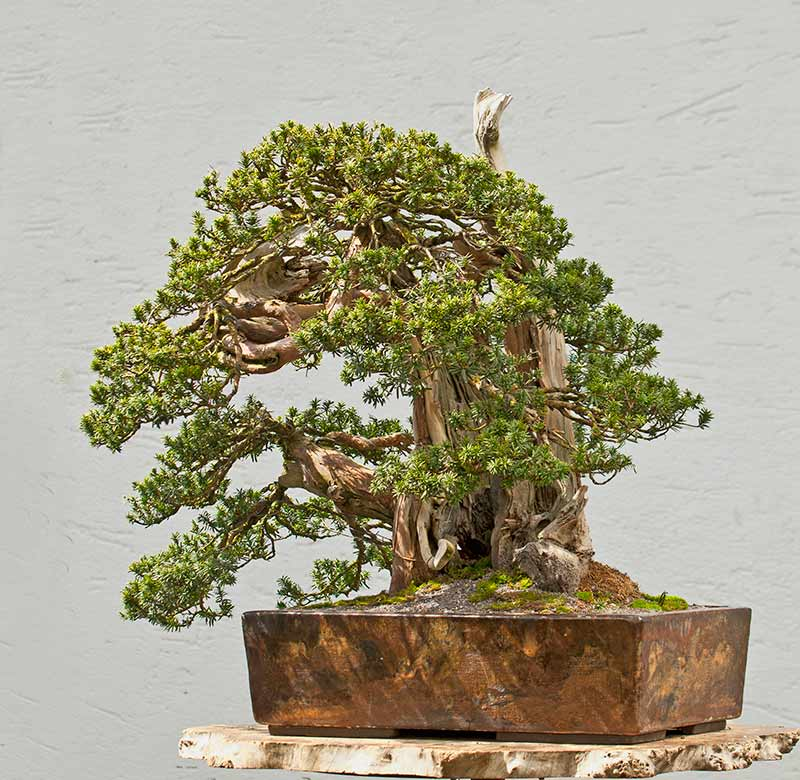 Bonsai Photo of the Day 10-17-2019