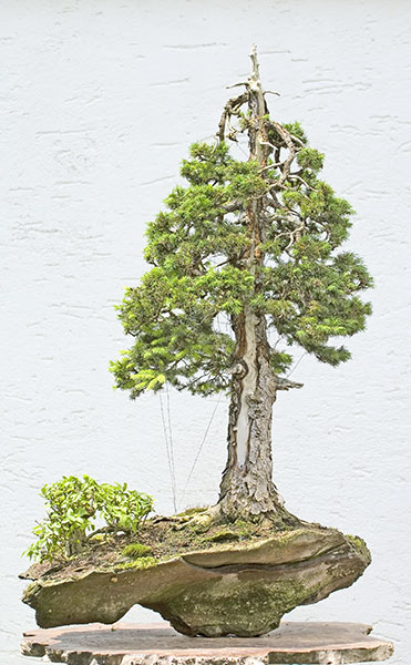 Bonsai Photo of the Day 10-24-2019