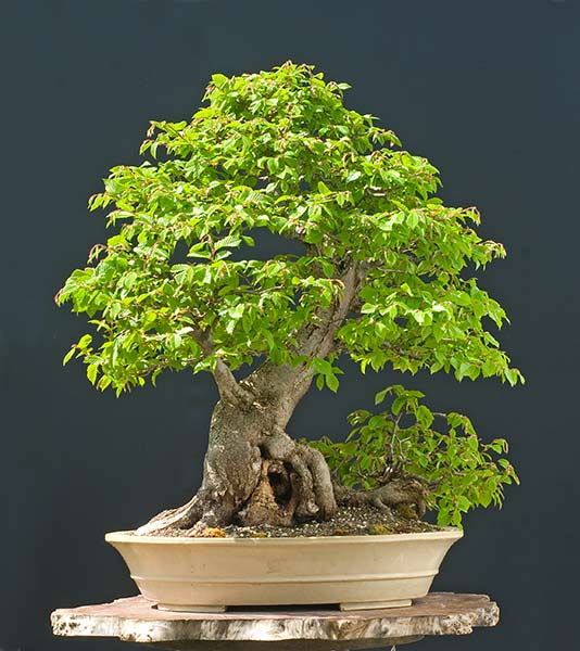 Bonsai Photo of the Day 10-29-2019