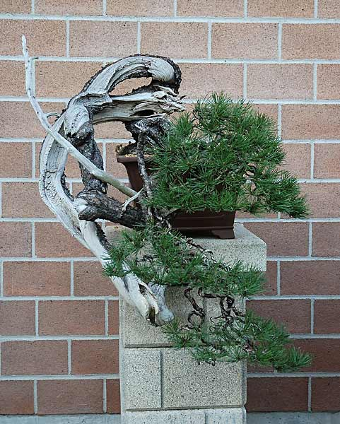Bonsai Photo of the Day 10-3-2019