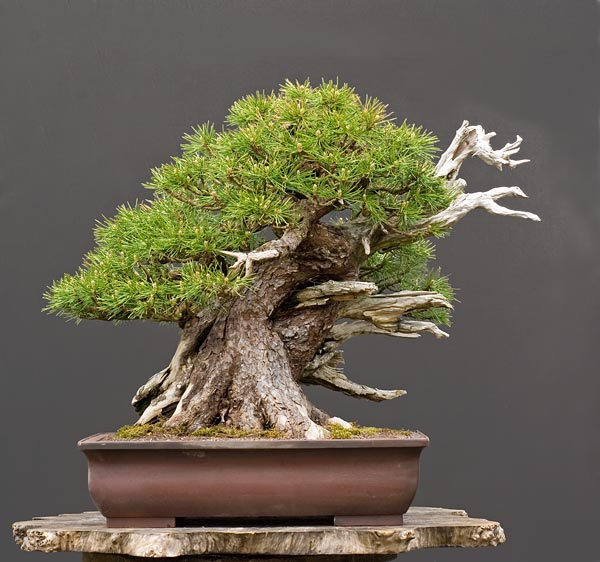 Bonsai Photo of the Day 10-9-2019