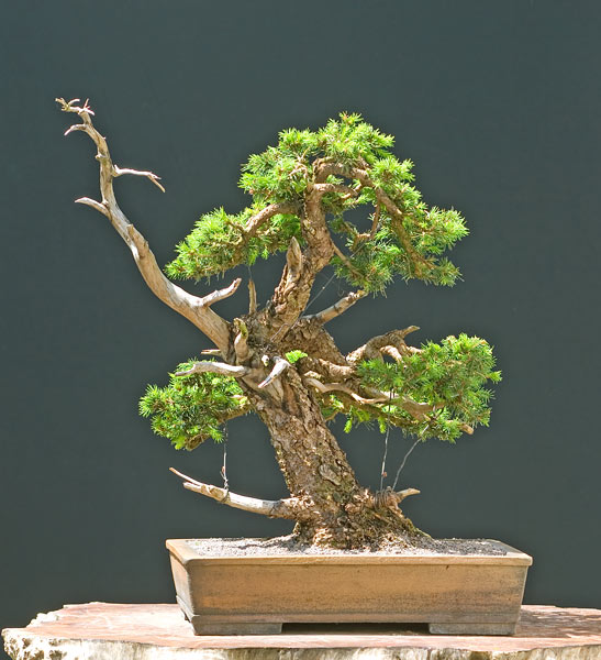 Bonsai Photo of the Day 11-1-2019