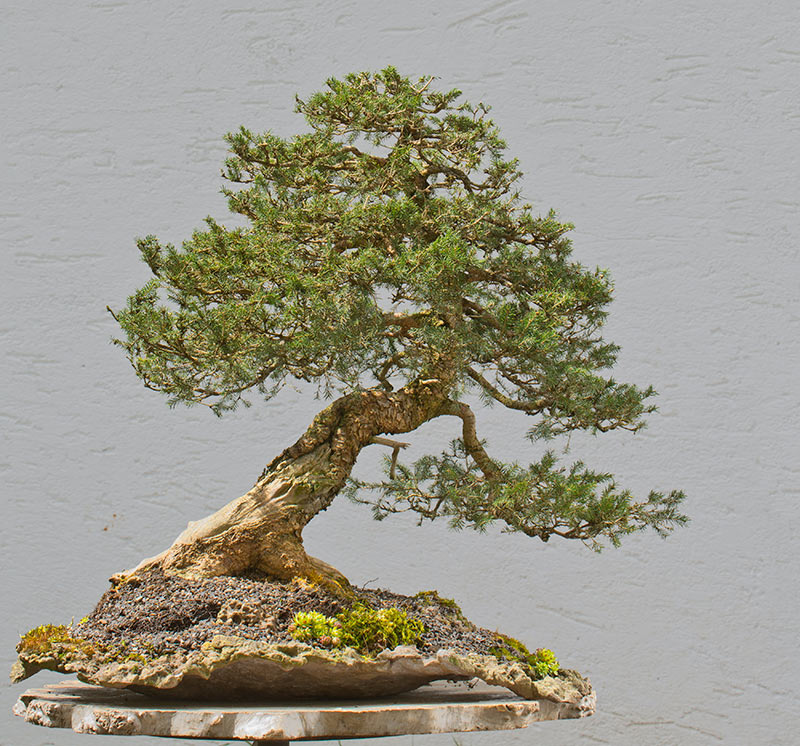 Bonsai Photo of the Day 11-11-2019