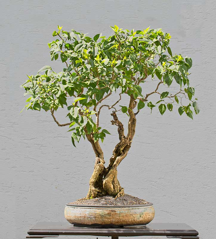 Bonsai Photo of the Day 11-12-2019