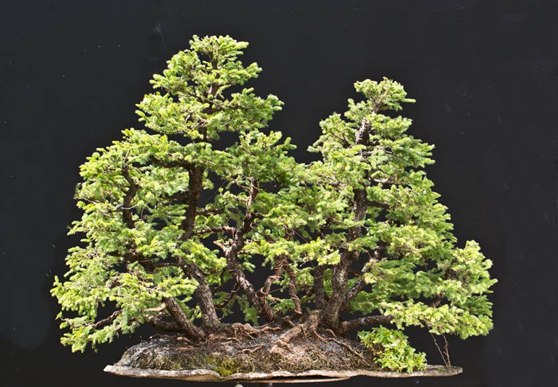Bonsai Photo of the Day 11-13-2019