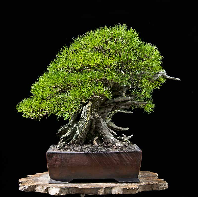 Bonsai Photo of the Day 11-14-2019