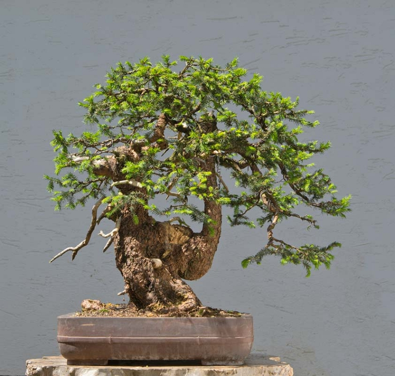Bonsai Photo of the Day 11-21-2019