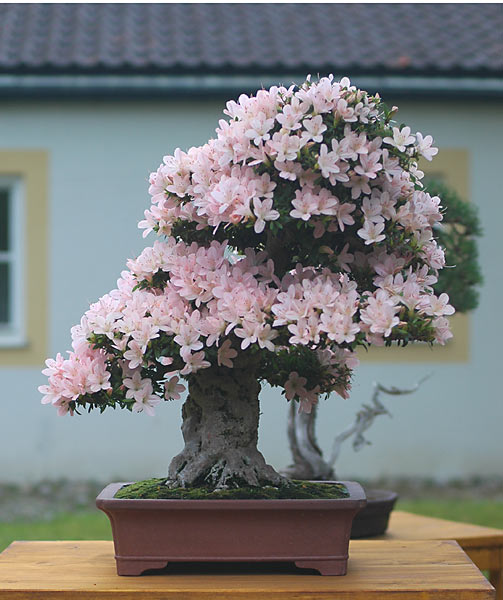 Bonsai Photo of the Day 11-22-2019