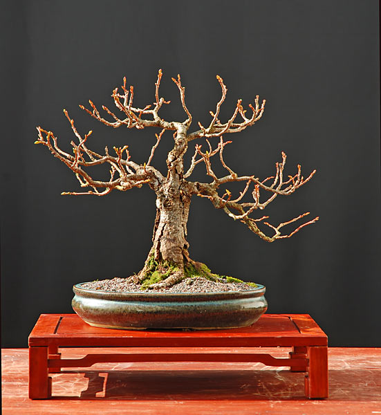 Bonsai Photo of the Day 11-25-2019