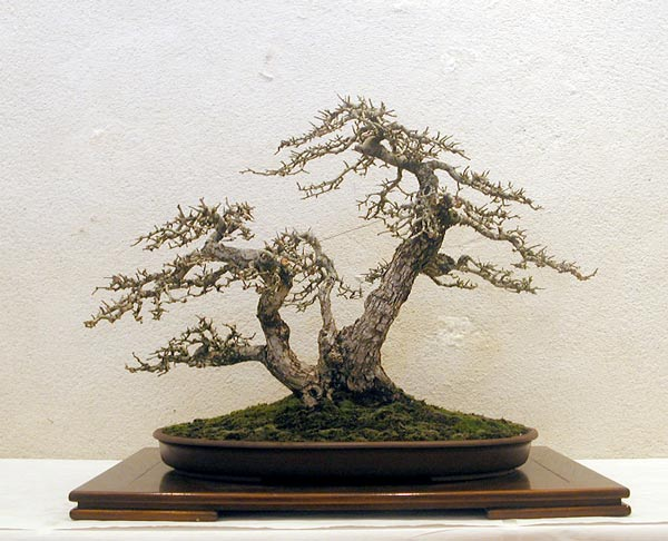 Bonsai Photo of the Day 11-7-2019