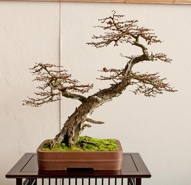 Bonsai Photo of the Day 11-8-2019