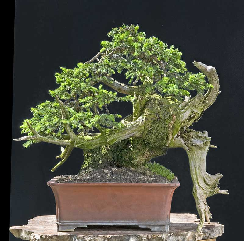 Bonsai Photo of the Day 12-12-2019