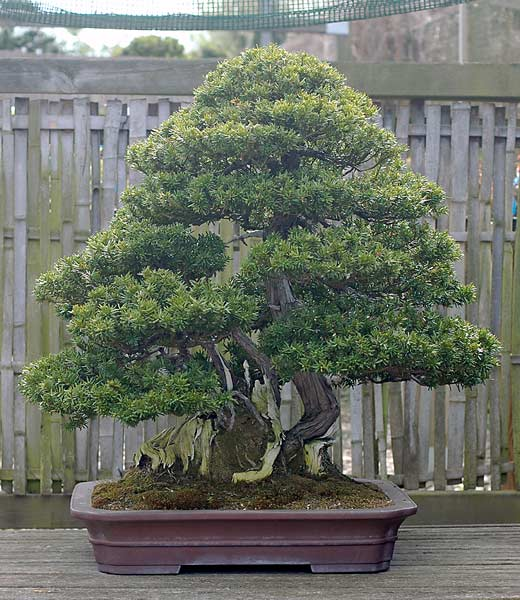 Bonsai Photo of the Day 12-19-2019