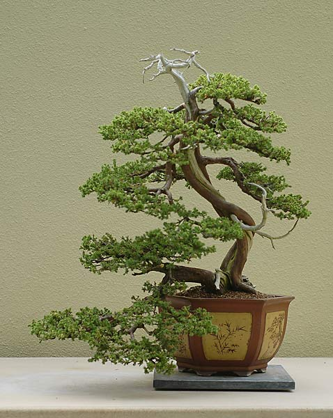 Bonsai Photo of the Day 12-20-2019