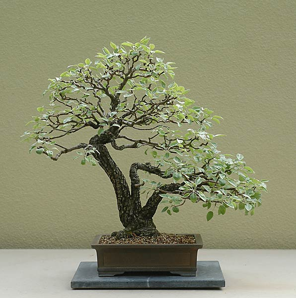 Bonsai Photo of the Day 12-26-2019