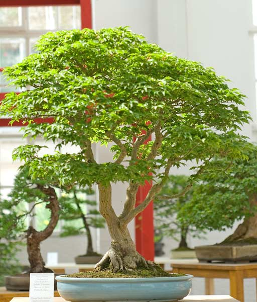 Bonsai Photo of the Day 12-3-2019