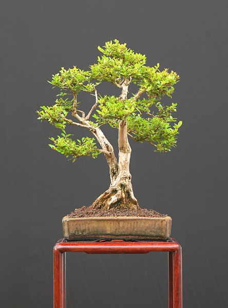 Bonsai Photo of the Day 12-30-2019