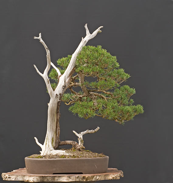 Bonsai Photo of the Day 12-6-2019
