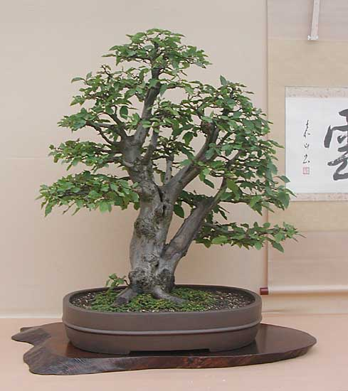 Bonsai Photo of the Day 1-1-2020