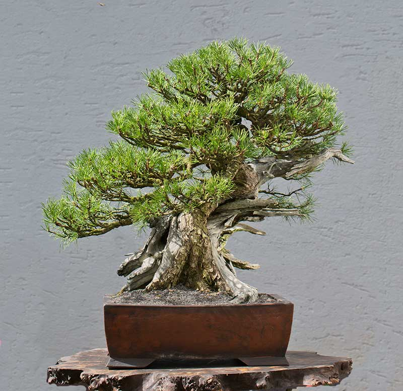 Bonsai Photo of the Day 1-15-20