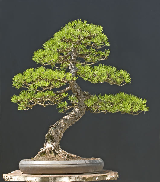 Bonsai Photo of the Day 1-16-2020