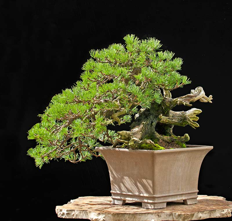 Bonsai Photo of the Day 1-17-20
