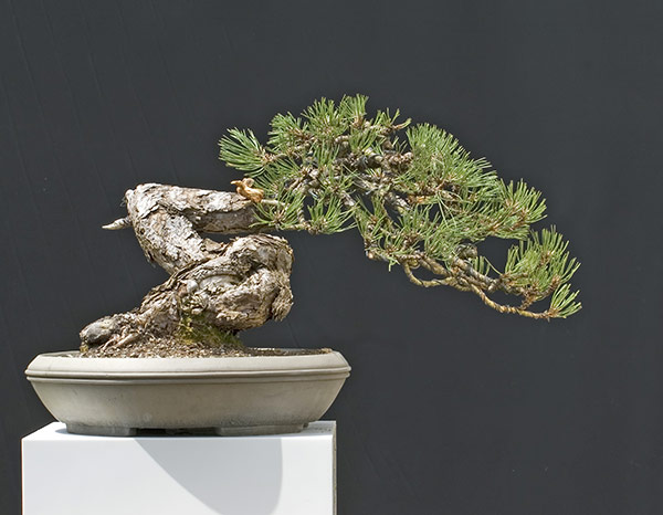 Bonsai Photo of the Day 1-2-2020