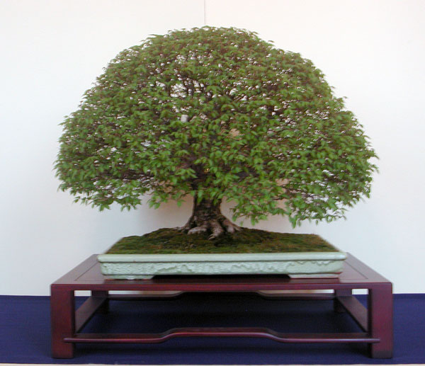 Bonsai Photo of the Day 1-20-20