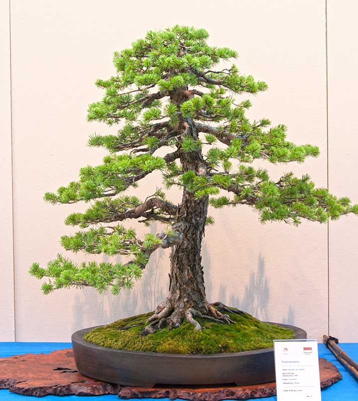 Bonsai Photo of the Day 1-21-20