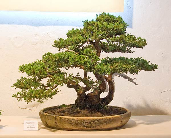 Bonsai Photo of the Day 1-22-20