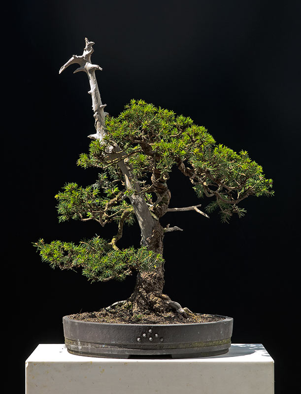 Bonsai Photo of the Day 1-24-20