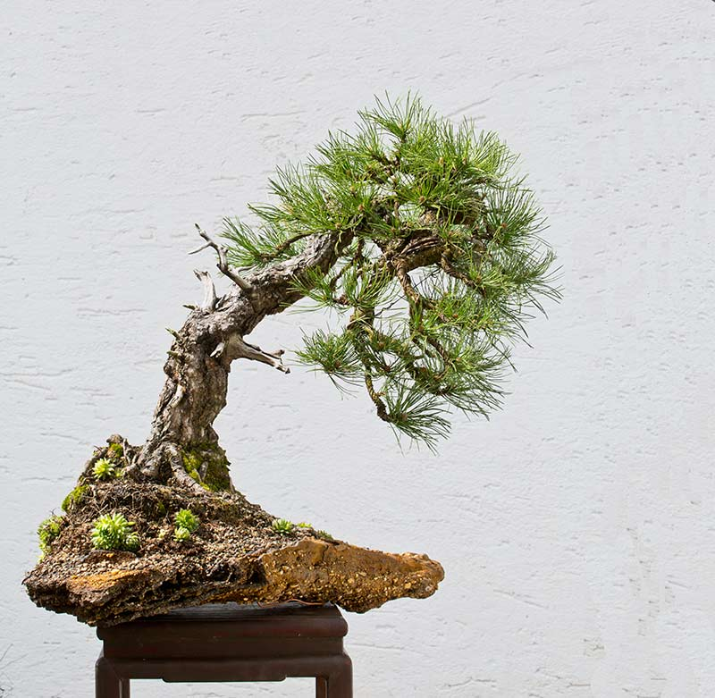 Bonsai Photo of the Day 1-28-20