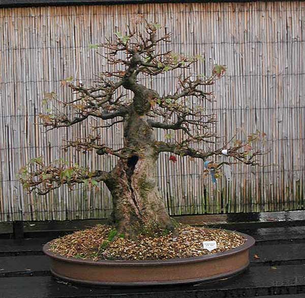 Bonsai Photo of the Day 1-31-20