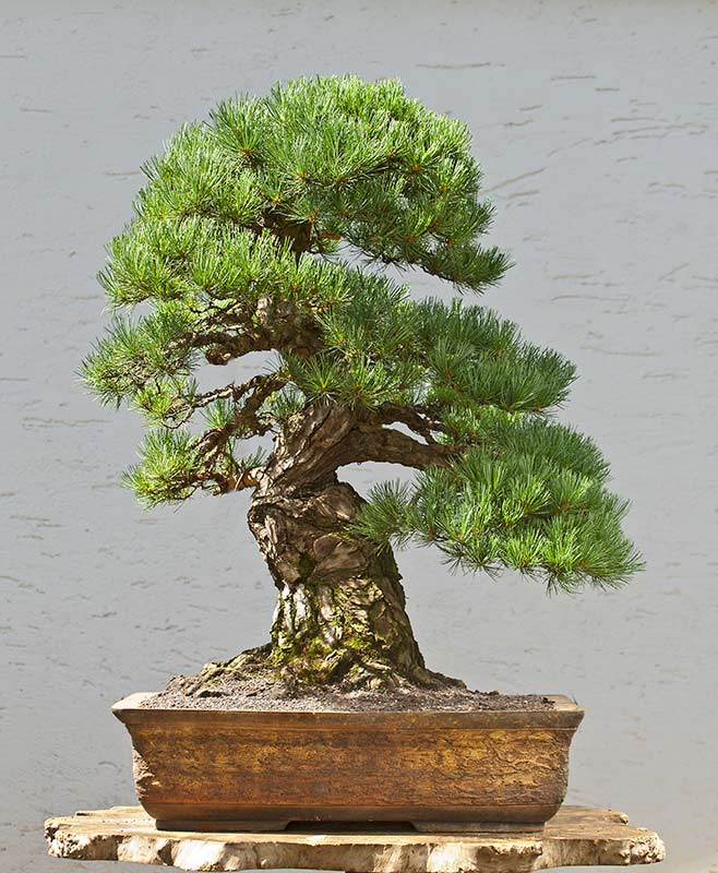 Bonsai Photo of the Day 1-8-2020