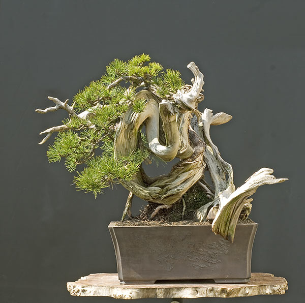 Bonsai Photo of the Day 1-9-2020