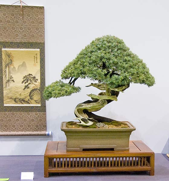 Bonsai Photo of the Day 2-24-20