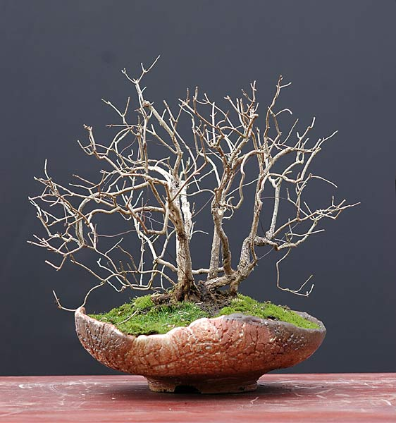 Bonsai Photo of the Day 2-26-20