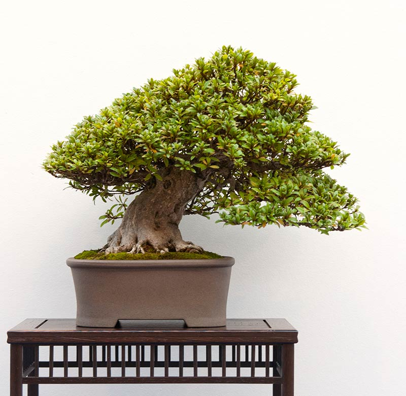 Bonsai Photo of the Day 2-28-20