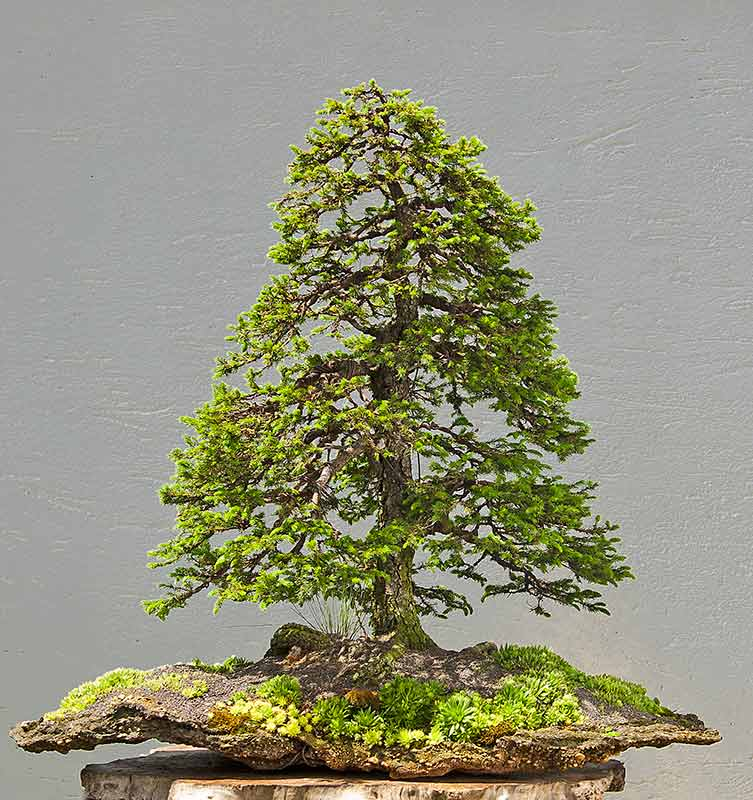 Bonsai Photo of the Day 2-3-20